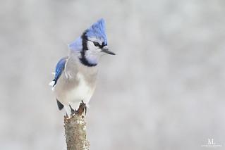 Geai bleu - Blue jay -  Cyanocitta cristata