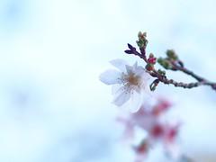 四季桜 (Polotaro) Tags: mzuikodigital45mmf18 flower nature olympus epm2 pen 花 自然 オリンパス ペン シキザクラ 11月