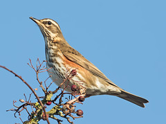 Redwing  (Turdus iliacus) (drbut) Tags: redwing turdusiliacus chatsandthrushes turdidae winterthrush hedges orchards fields wildlife nature bird birds avian