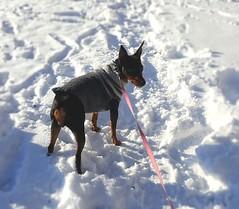 min pin fun sweater (julializard) Tags: dogsweater minpin pinscher dogclothing dog smallbreed