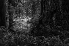 Redwood Monochrome (zh3nya) Tags: bw blackandwhite redwoods forest woods monochrome d750 sigma35mmf14 california ca hiking lush dark fern trees rainforest contrast trunk bark pnw pacificnorthwest detail