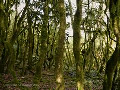 Three parallel trees. (AJ Mitchell) Tags: scrawl twisted floodplain tortured wood trees scribble