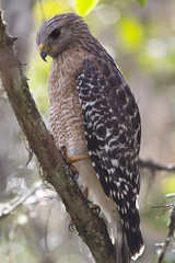 Red-shouldered Hawk (DFChurch) Tags: corkscrewswamp red shouldered hawk buteolineatus nature bird feather animal florida naples wild wildlife