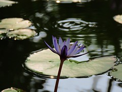 autum lily (oneroadlucky) Tags: nature plant flower lotus waterlily reflection