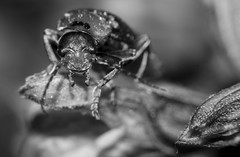 (iSpiXal) Tags: macro insect lens insects reversed tokinarmc28mmf28