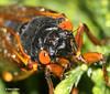 Periodical Cicada (Magicicada sp.) (Odephoto) Tags: cicada va magicicada periodicalcicada fairfaxcounty