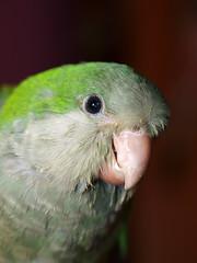 _7110020 (Entoete) Tags: verde gris aves loro cotorra pecho invasoras