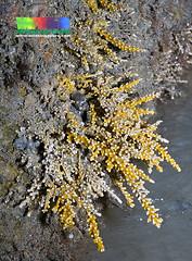 Knobbly soft coral (Carijoa sp.) (wildsingapore) Tags: park nature island coast marine singapore underwater wildlife jetty east coastal shore intertidal seashore bedok marinelife cnidaria wildsingapore clavulariidae carijoa