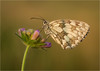 Marbled White in Morning Light (Chris Beard - Images) Tags: summer nature wildlife butterflies july insects wiltshire salisburyplain marbledwhite