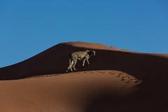 20130616_Namibia_Kiki_at_Dunes_0562.jpg (Bill Popik) Tags: africa kiki mammals namibia cheetahs 2places 3animals africancats