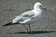 Male Ring-Billed Gull Out And About 001 (Chrisser) Tags: seagulls ontario canada bird nature birds seagull ringbilledgull ringbilledgulls canoneosrebelt1i canonef75300mmf456iiiusmlens