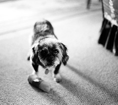 I want to play (Mark.Swanson) Tags: dog pet film canon toy mutt mix trix sox shihtzu dachshund wirehaired mixedbreed ftb