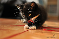 WEEK 1: Chew on string (Random Life Project) Tags: cats kitten kitty kittens ehs adoption fostering edmontonhumanesociety fosteranimal
