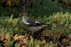 Gobe chenille verte (Le No) Tags: bird 31 oiseau ficedulahypoleuca hautegaronne midipyrnes europeanpiedflycatcher stlon lauragais gobemouchenoir passriformes muscicapids septembre2013