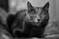 Smulan (afeman) Tags: cats pets animals canon sweden uppsala eos5d smulan uppsalacounty