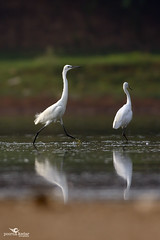 Little Egret (Poorna Kedar) Tags: wild india white reflection bird nature water little vibrant wildlife bangalore birding beak karnataka egret wating