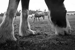 Oscar Grazing (TW Collins) Tags: horse newyork oscar farm upstate pasture grazing animalsanctuary equine clydesdale buskirk rensselaercounty heartsheard