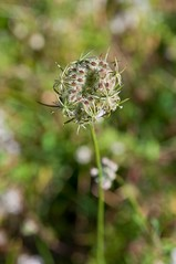 Cool It! (brev99) Tags: blur flower bokeh meadow wildflower sigma1770os photoshopelements9