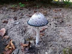 test block upload (Marcel Berbers) Tags: tuin 2014 inktzwam coprinuscomatus flickrandroidapp:filter=none degeschubdeinktzwam