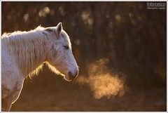 Camargue horse in the Isola della Cona Natural Reserve (Alessandro Laporta Photographer) Tags: ho