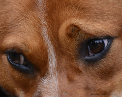 Meggie's Patient Eyes (Explored) (misst.shs) Tags: dog pet macro nikon mansbestfriend acd redheeler northidaho austrailiancattledog macromonday d7000
