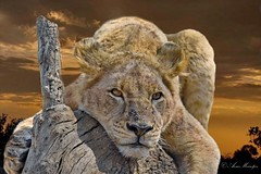Wildlife art combo (Arno Meintjes Wildlife) Tags: wallpaper art wildlife lion combo pantheraleo arnomeintjes