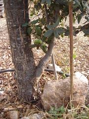pié injertado 3 años (cancoves) Tags: quercus ilex rotundifolia injerto quercusilexrotundifolia injertoencina