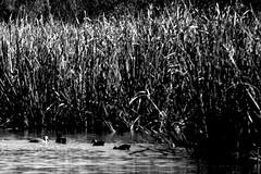 Ducks on a Pond (DancingTerrapin) Tags: blackandwhite nature water grass animals ga georgia landscape wildlife ducks augusta phinizyswamp