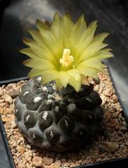 eriosyce heinrichiana (jeffs bulbesetpots) Tags: cactus eriosyce heinrichiana
