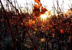 (monika keller) Tags: autumn sun vineyard vine wineyard wein weinberg sunraise