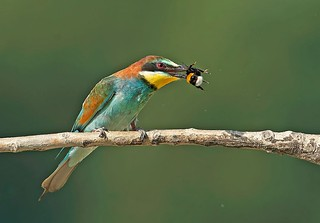 2013 Bee-eaters (Explored)