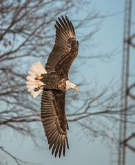 Eagle 62 (Jan Crites) Tags: bird nature river flying fishing nikon december eagle zoom wildlife flight baldeagle sigma iowa raptor mississippiriver americanbaldeagle d600 nationalsymbol leclaire 2013 birdofpray lockanddam14 150500mm