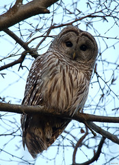 Barred Owl, Strix varia (markvcr) Tags: vancouver owl hunter predator ladner barred strix reifel avianexcellence