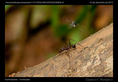 Hormiga cortadora y mosca en accin / Leaf cutter ant and fly in action (gustavo@morejon.ec) Tags: costa coast fly leaf ecuador ant gustavo andes ponce cutter mosca hormiga invertebrate enriquez diptera hymenoptera guayas cortadora formicidae azuay invertebrado morejon