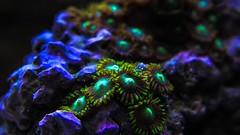 Zoas - Soft Marine Coral (Spammie33) Tags: sea blur macro green colors beauty up coral rock aquarium marine colorful underwater dof tank close purple live under salt fishtank reef saltwater polyps softcoral zoa zoas
