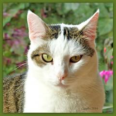 Jasmijn (Cajaflez) Tags: portrait pet cute cat chat katze portret gatto huisdier jasmijn ruby3 mygearandme mygearandmepremium mygearandmebronze mygearandmesilver mygearandmegold blinkagain