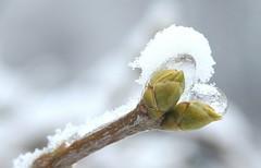 Warten auf den Frhling (blumenbiene) Tags: schnee winter snow plant tree ice frozen pflanze buds bud eis baum knospe knospen