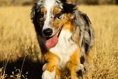 223/365 Cap (BlueDog_1199) Tags: blue dog canon puppy rebel shepherd australian days cap captain 365 aussie australianshepherd merle t1i