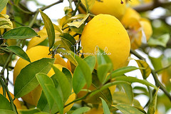 Lemon tree (***VR) Tags: food plant color detail tree green nature beautiful yellow closeup fruit botanical leaf juicy lemon healthy colorful day branch place natural bright blossom gardening group harvest orchard fresh foliage growth mature crop tropical vegetation bunch hanging citrus growing organic lush agriculture peel sour vitaminc freshness ripe vitamin cultivated