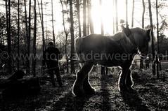 DSC_1512 (Ton van der Weerden) Tags: horses horse de cheval nederlands belges draft chevaux belgisch trait kampioenschap swalmen trekpaard trekpaarden boomslepen
