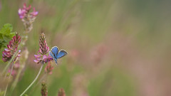 Bluling (sascha-laessig-fotografie.de) Tags: butterfly may mai schmetterling leutratal