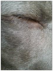 Finley (FayeRae74) Tags: dogs weimaraner closedeye