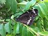 Black Butterfly Photo by Sunnyboiiii (Sunnyboiiii) Tags: camera black nature beautiful butterfly photo pretty insects bugs beautifulbutterfly blackbutterfly currytree iphone4 prettybutterfly iphone4camera sunnyboiiii