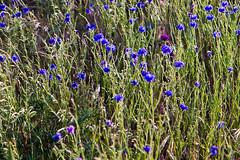 Rowena - Tom McCall Preserve (Debbie DS) Tags: flowers sunset oregon rowena tommccallpreserve