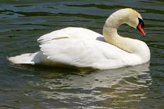Swan, Kentucky Horse Park, Lexington, Kentucky (Bunny8907) Tags: white bird nature water swan lexington kentucky kentuckyhorsepark