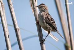 Cisticola Juncidis (Zemarks) Tags: birds wildlife birding avesemportugal aves birdwatching avifauna cisticolajuncidis funhadosjuncos birdsfromportugal