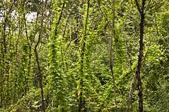 _IGP4570 (pitysing) Tags: texture nature growth backlighting nescopeckstatepark