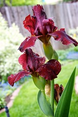 Red Iris After Storm (The Good Brat) Tags: iris red storm flower wet garden us colorado bloom
