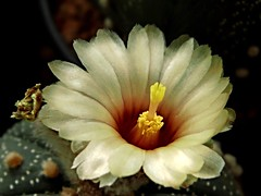 Astrophytum asterias form flower (Skolnik Collection) Tags: astrophytum asterias form flower cactus mexico skolnik collection