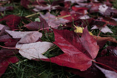 Fall out from the storm (crgshpprd) Tags: maple leaf fall autumn colours colors grass ground earthy winter is coming vancouver bc british columbia canada eh leaves stereotype fuji x100t depth field dof sharpness national symbol storm rain tones